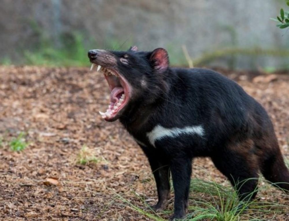 Walcher: A (Tasmanian) Devil of a Dilemma