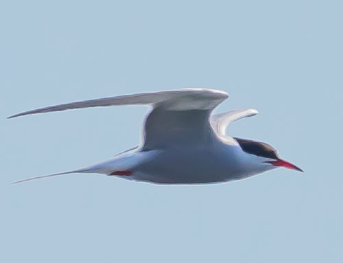 Walcher: One good tern deserves another