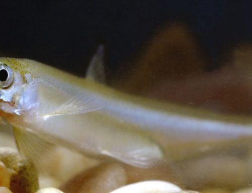 Grimes: Petition to Request Delta Smelt Be Declared Extinct will be Filed With Fish and Game